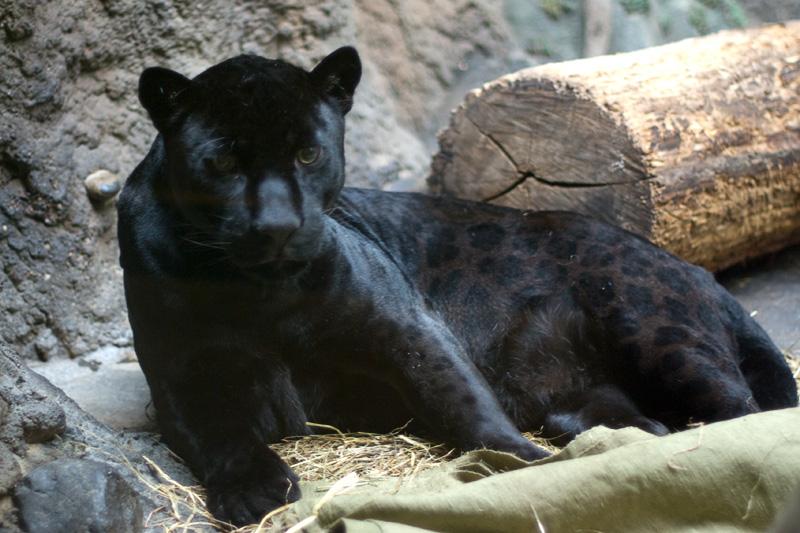 пантера коричневая фото